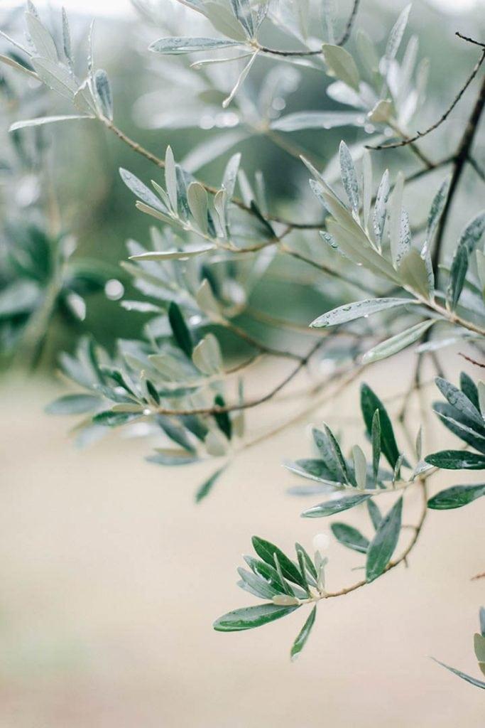 Villa Catureglio Tuscany Wedding Olive Branch